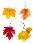 Autumn leaves isolated on white background — Stock Photo