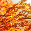 Red autumn leaves — Photo