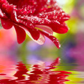 Closeup of red daisy-gerbera reflected in the water. Soft focus — Stock Photo