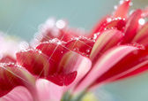 Closeup of red daisy-gerbera with waterdrops. Soft focus and sta — Stock Photo