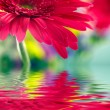 Closeup of pink daisy-gerbera reflected in the water — Stock Photo #7959202