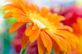 Closeup photo of orange daisy-gerbera — Zdjęcie stockowe