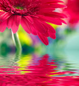 Closeup of pink daisy-gerbera reflected in the water — Stock Photo