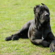 Cane corso dog — Stock Photo #7307614