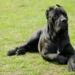 Stock Photo: Cane corso dog