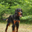 Stock Photo: Gordon Setter / Setter King