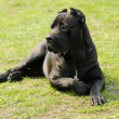 Cane corso dog - Stock Photo