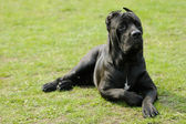 Cane corso dog — Stock Photo