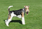 Fox Terrier portrait — Stock Photo