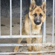 Stock Photo: Germshepherds in kennel
