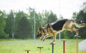 Training of a police dog — Stock Photo