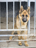 German shepherds in kennel — Stock Photo