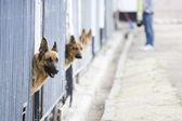 German shepherds in kennel — Stock Photo