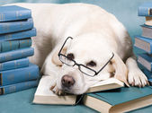 Intelligent Dog — Stock Photo