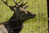 Deer in cage — Stockfoto