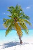 Palm tree on tropical island . Maldives — Stock Photo
