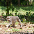 Long-tailed macaques (Macaca fascicularis)in Sacred Monkey Forest in Ubud B — Stock Photo