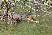 Krokodyl z otwarte usta. black river, jamajka — Zdjęcie stockowe
