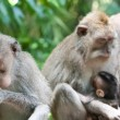 Long-tailed macaques (Macaca fascicularis)in Sacred Monkey Forest — Stock Photo