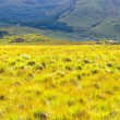 Yellow field against blue mountain — Stock Photo