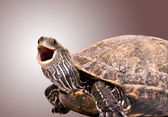 Turtle with open mouth — Stock Photo
