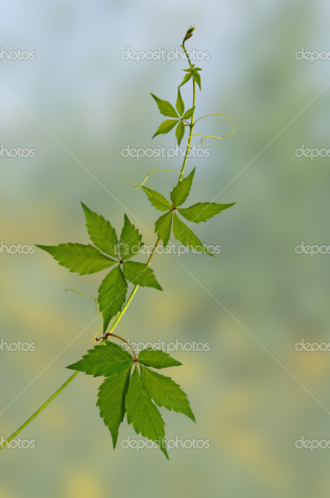 Green vine — Stock Photo #6826257