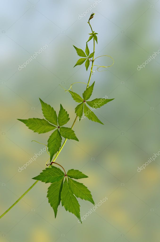 Green vine  Stockfoto #6826257