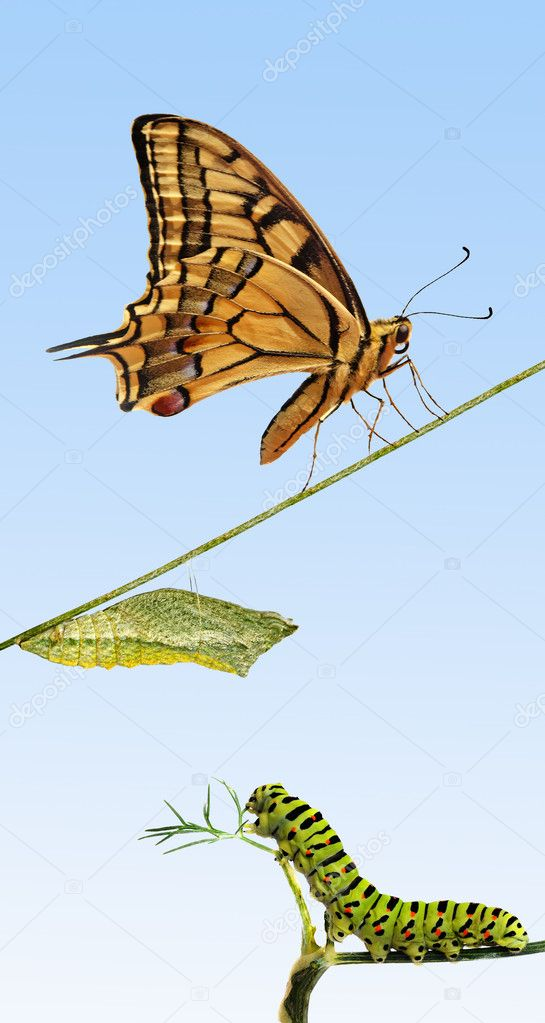 Close up of caterpillar , pupae, and swallowtail butterfly — Stock Photo #6826267