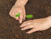 Planting a sapling — Stock Photo