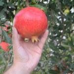 Pomegranate in hand — Stock Photo