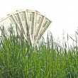 Dollars growing in grass — Foto Stock