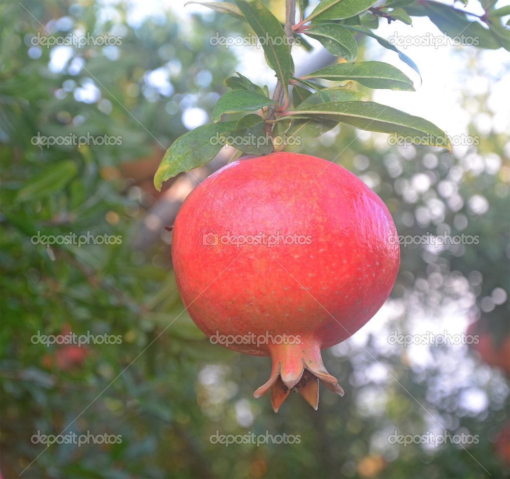 Ripe pomegranate on branch   Stock Photo #6964354
