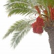 Date palm — Stock Photo #7173814