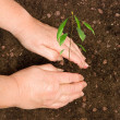 Stock Photo: Farmer planting avocado tree