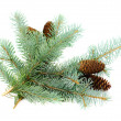 Spruce branches with cones - Stock Photo