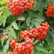 Red ash (Sorbus aucupariL) — Stock Photo #7441923