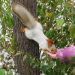 Stock Photo: Squirrel takes food from hand белка