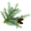 Stock Photo: Fir twigs