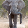 Stock Photo: Big elephant approacing along road