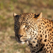 Closeup of leopard head in the sunlight — Stock Photo