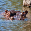 Hippo lying in water wet — Stock Photo