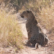 Male leopard sitting in dirt road — Stockfoto