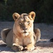 Lioness fat lying on sand in dry river bed — Stockfoto
