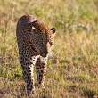 Leopard male walking through grass field — Stock Photo