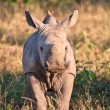 Rhino  calf in nature green grass — Stock Photo