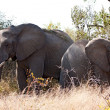Two elephant in the grass - Foto Stock