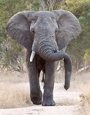 Big elephant approacing along a road — Stock Photo