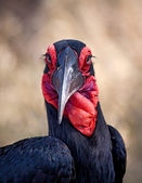 Ground hornbill closeup portrait — Stock Photo