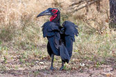 Ground hornbill walking on the ground in shade — Stock Photo