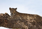Leopard lying on brach in big tree — Stock Photo